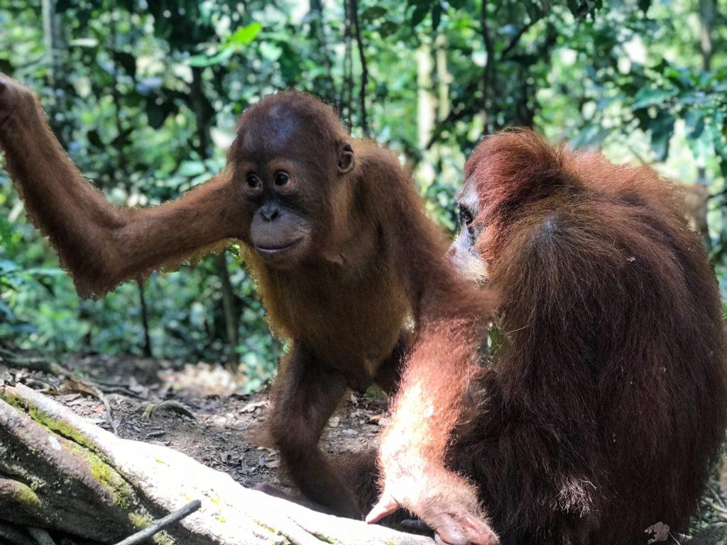 jungle trip sumatra ourang utan