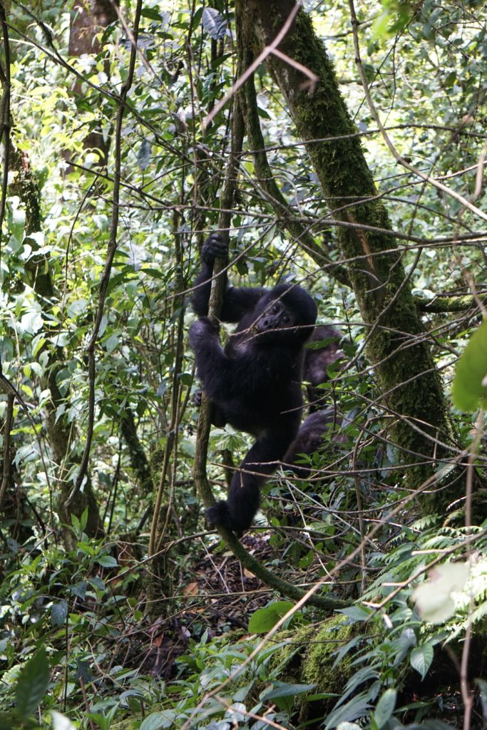 rwanda paysage gorille trekking volcan