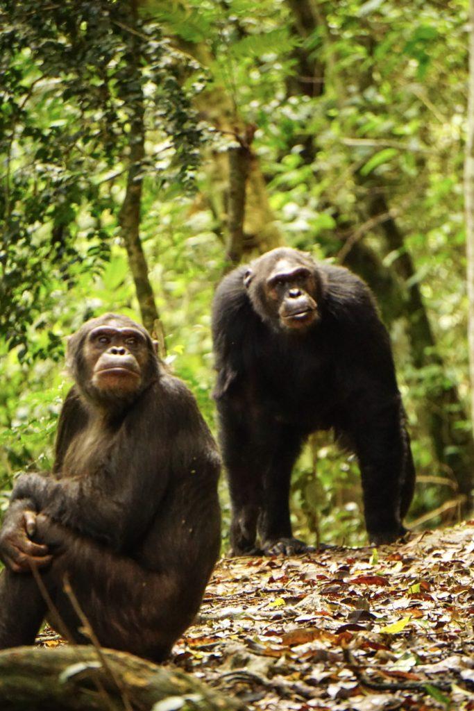 rwanda paysage chimpanze trekking nyungwe foret